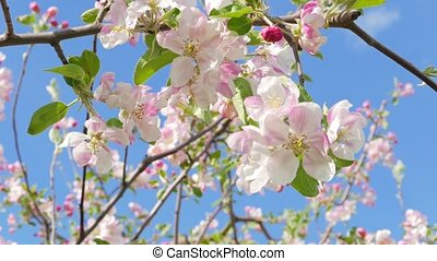 Blossoming apple tree against the b