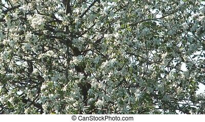 Blossoming apple-tree.