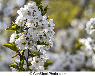 Blossoming apple tree branch on a blurous background is a sunny day