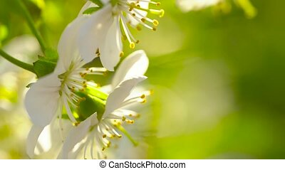 Blossoming apple tree close-up in sunlight