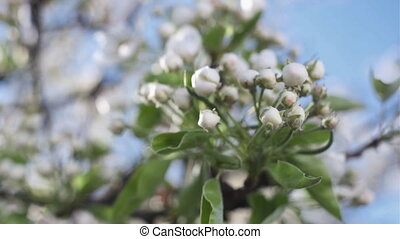 Blossoming apple tree, closeup, on the sky background