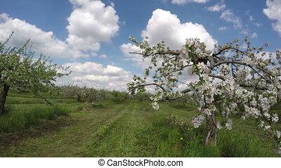 blossoming apple tree garden