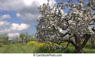 blossoming apple tree  in garden