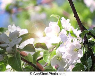 blossoming apple tree in sunbeams closeup spring garden