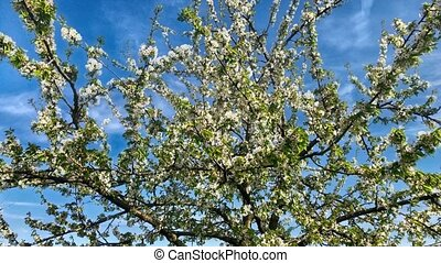 Blossoming apple tree on a sunny spring day