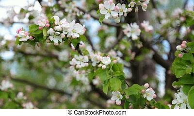 blossoming apple-tree