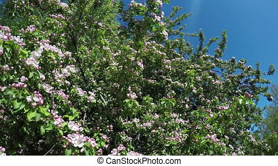 blossoming apple tree with pink flowers on the blue sky background