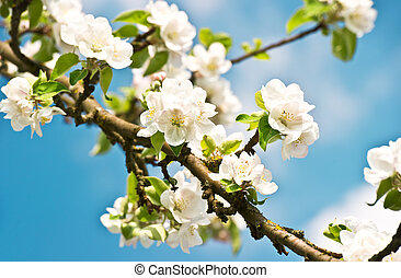 blossoming apple tree with white flowers on blue sky background