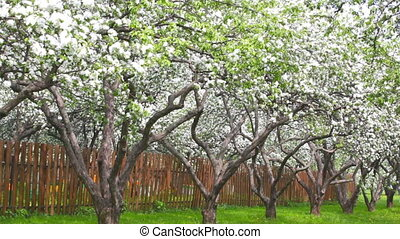 Blossoming apple-trees in a garden near a fence