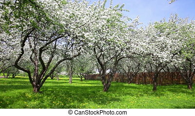 blossoming apple-trees near a fence in an apple-tree garden