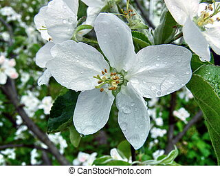 Blossoming apple-trees