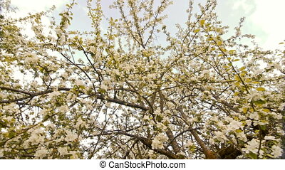 Blossoming apple trees with white flowers in spring.