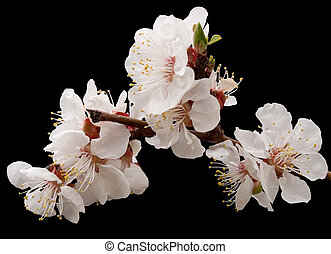 blossoming apricot - Blossoming twig of apricot - tree...