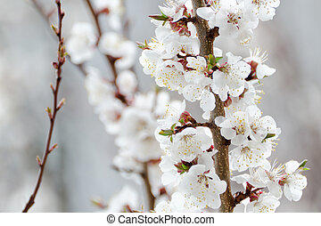 Blossoming apricot, close-up