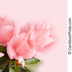 Blossoming azalea on a pink background close up