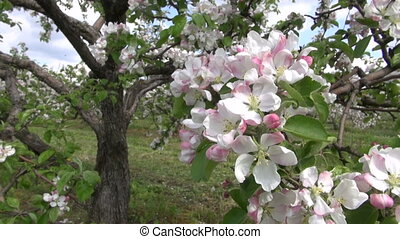 blossoming beautiful apple trees