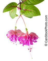 blossoming beautiful colorful fuchsia, isolated on white...