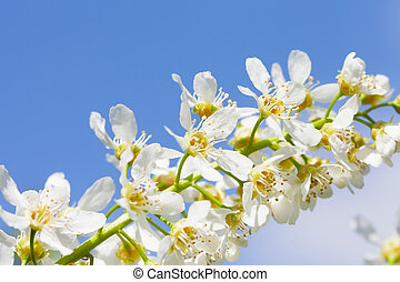 Blossoming bird cherry against the blue sky