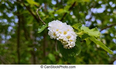 blossoming bird cherry branch. outdoor landscape