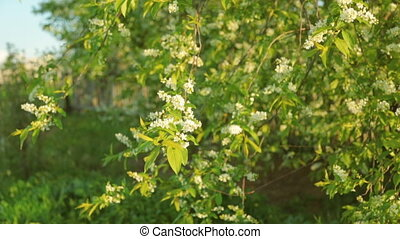 Blossoming bird cherry in sun light