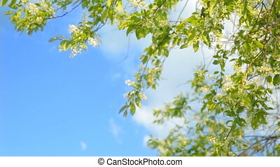 Blossoming bird cherry in sun light