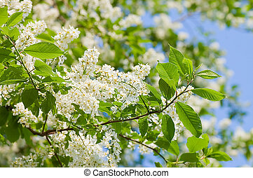 Blossoming bird cherry in the spring