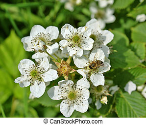 Blossoming blackberry bush and bee, sunny spring day...