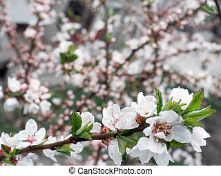 "blossoming - Blossoming twig of \""China cherry\\\"" tree..."