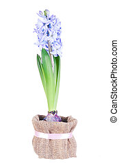 Blossoming blue hyacinth on a white background