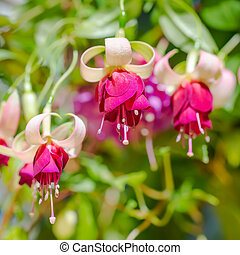 blossoming branch exotic red and white fuchsia on nature,  `Mood