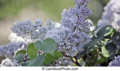 Blossoming branch of a blue lilac close up
