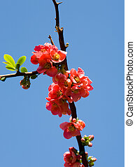 pomegranate in the spring