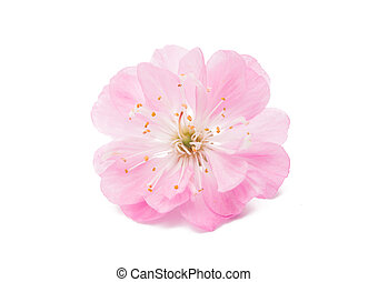 Blossoming branch of almond (PRUNUS TRILOBA) on a white background