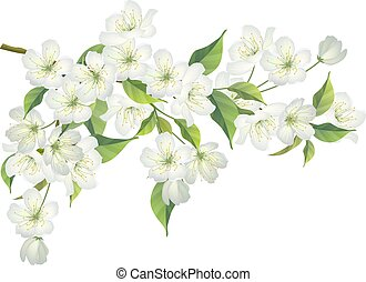 Blossoming branch of apple tree isolated on white