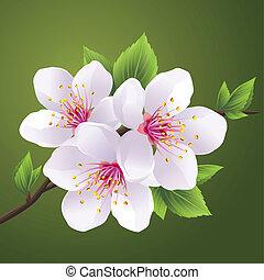 Blossoming branch of sakura - cherry tree