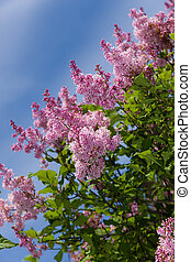 branches of a lilac