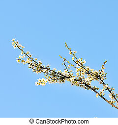 Blossoming branches of a tree.