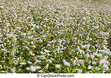 Blossoming buckwheat. - Buckwheat field in blossoms.