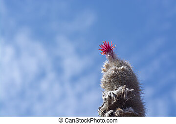 Blossoming cactus with prickly leaves