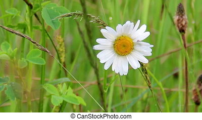 blossoming camomile - white camomiles tremble in the soft...