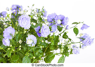 Blossoming Campanula with blue flowers on a white background