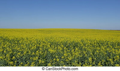 Blossoming canola plants in field