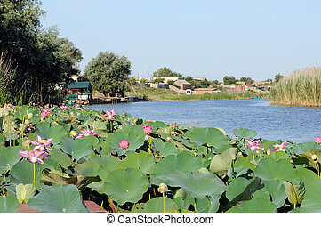 Blossoming Caspian lotus field near the village in Volga ...
