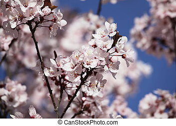 Blossoming cerry - Blossoming cherry
