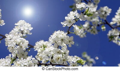 Blossoming cherry against the blue sky and a bright sun