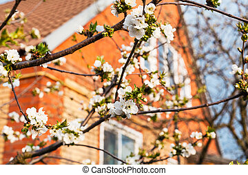 blossoming cherry and house in sunny spring day