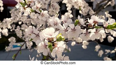 Blossoming cherry branches in the spring closeup soft color vintage style grading.