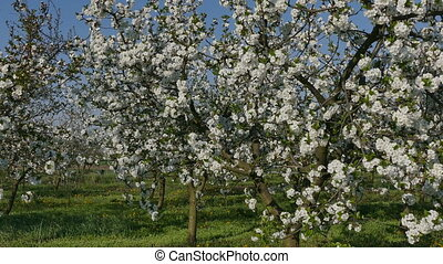 Blossoming cherry fruit  trees