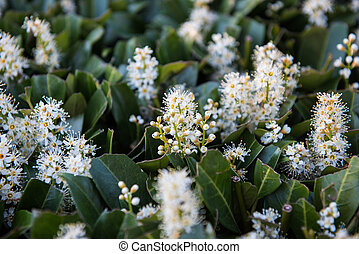 blossoming cherry laurel in the evening in the garden