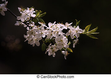 Blossoming cherry on a dark background